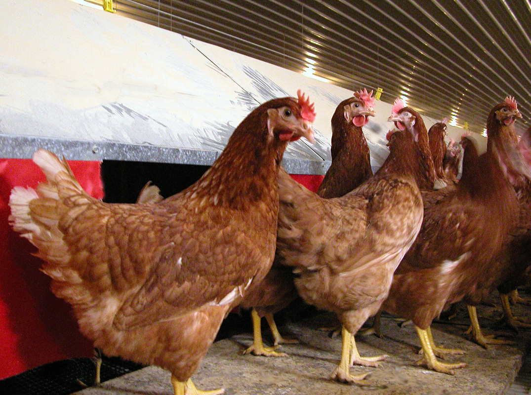 how to give hens dewormer